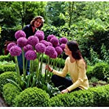 [Patrocinado]Allium gigante (All