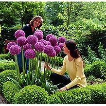 Allium gigante (Allium giganteum), 30 semillas por paquete, resistente al invierno