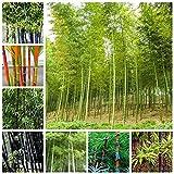 Harddo Bamboo Seeds Semi di bambù Semi di bambù giganti freschi Semi di Albero Bonsai (Verde)