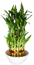 """SMZ Brandlines - 3 Layer 4"""" 6"""" 8"""" Top Quality Lucky Bamboo Indoor Plant For Feng Shui (Total About 38 Stalks)"""