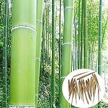 Bluelover Semi di 100pcs giardino sempreverde Arbor Moso Bambù cortile Phyllostachys Pubescens piante