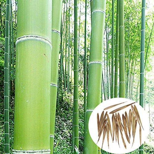 bluelover-graines-de-100pcs-jardin-arbor-evergreen-moso-bambou-plantes-phyllostachys-pubescens-court