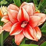Es cierto Amaryllis Bulbos de la planta de jardín Hippeastrum Bulbos bonsai bulbos de flores Amarilis rizomas Bulbos Barbados Lily maceta - 1 bombilla de 18