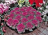Semi di fiore raro cavolo ornamentale Krupnolistnaya agricoltura biologica Fiori