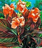 BALDUR-Garten Canna'Durban', 1 Knolle Indisches Blumenrohr Canna indica