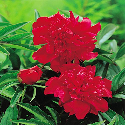 Paeonia/Pivoine double rouge - 1 plante
