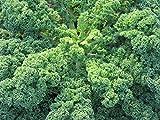 Portal Cool 75 sementi biologiche cavolo riccio blu Varietà - Cavolo Brassica oleracea Superfood