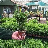 50 x Buxus Sempervirens 15-25cm in 9cm pot (a266)