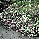 Blütenharlekin-Spiere 'Shirobana'