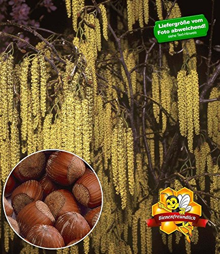 baldur-garten-haselnuss-waldhasel1-pflanze-nussbaum