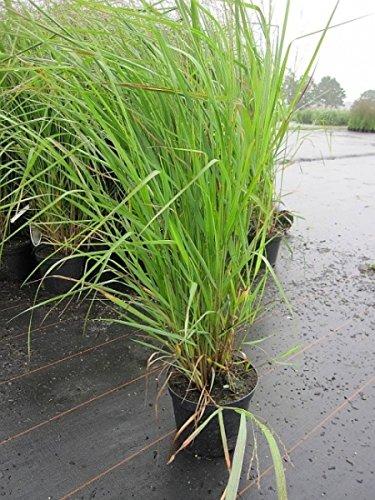 Garten-Rutenhirse Deko-Gras zur Auflockerung der Beete