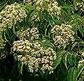 Bienenbaum 40-60cm - Euodia hupehensis von Baumschulen bei Du und dein Garten