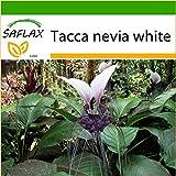 SAFLAX - Nepalesische Riesen - Fledermausblume - 10 Samen - Mit Substrat - Tacca nevia white
