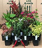 Mixed Garden Shrub Selection, Pack of 5 Established Plants Supplied in 9cm Pots