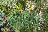 Tränenkiefer Trauerkiefer - Pinus wallichiana - 50-60cm im 3Ltr. Topf