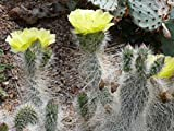"Kakteengarten 1 Pflanze winterharte Opuntia polyacantha ""ursina"" Grizzly-Bär-Kaktus gelbe Blüte"