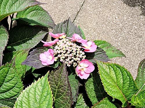 1 Stk. pinkrote Tellerhortensie (Hydrangea Cotton Candy) Containerware 30-40 cm hoch,