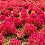 Broomsedge Samen Rasen Samen Bonsai Rasen Samen, Hausgarten Blumentopf Pflanze DIY Gartendekoration 100pcs/bag 1