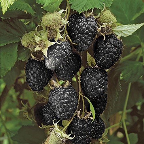 Black-Raspberry-Black-Jewel-Plant-in-a-2L-Pot-Grow-Your-Own-Fruit