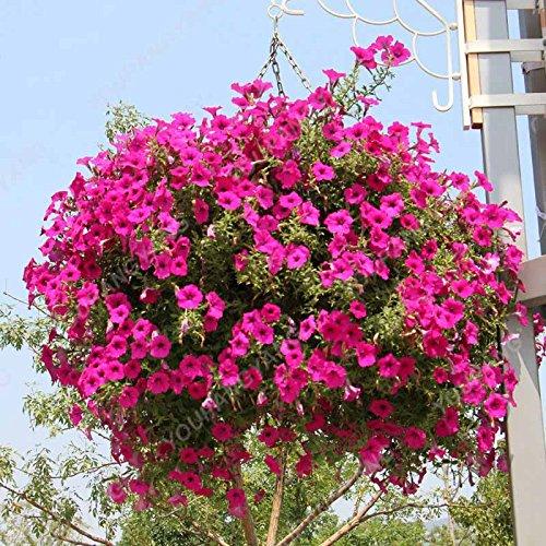 200 pcs / sac Petunia Graines Bonsaï Graines de fleurs Court Taille Jardin Fleurs Graines d'intérieur ou extérieur Plante en pot Livraison gratuite Effacer