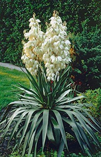 Portal Cool Bio-Blumensamen Yucca Filamentosa. Baum des Glücks