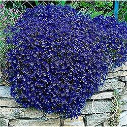 Shopmeeko 100 Stück/Los Heißer Verkauf!Felsenkresse-Bonsai - Cascading Blue, Nicht-GVO-Felsenkresse, Bodendeckerpflanzen, mehrjähriger Garten, blaue Blume