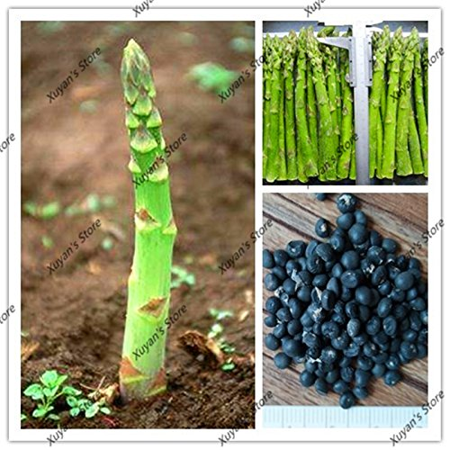 10 pcs Graines d'asperges Heirloom bio rares Graines de légumes verts Bonsai Semences pour la maison des plantes de jardin