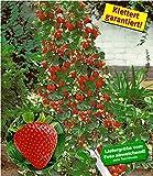 BALDUR-Garten Kletter-Erdbeere Hummi 6 Pflanzen