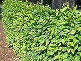 50 Stück Carpinus betulus * (Weißbuche oder Hainbuche), Weißbuchenhecke, Hainbuchenhecke * Topf 3 Liter 80-100 cm