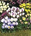 BALDUR-Garten Wildkrokus Prachtmischung 200 Zwiebeln Crocus chrysanthus von Baldur-Garten - Du und dein Garten