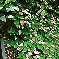 Zier-Kiwi, 3 Pflanzen von Amazon.de Pflanzenservice bei Du und dein Garten