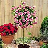 Rosier standard Meillandina rose - 1 rose