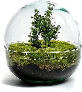 H/öhe: ca. 30 cm, Breite: ca. 30 cm Weihnachtsedition DIY /Öko Flaschengarten von Botanicly Biodome