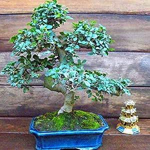 Bonsaï Orme Chinois (S forme 25cm) - 1 arbre