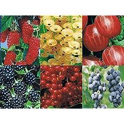 3 x Beerenobst Angebot: Je 1x rote Stachelbeere, Heidelbeere, schwarze Johannisbeere - Ribes, Vaccinium - 20-40 cm
