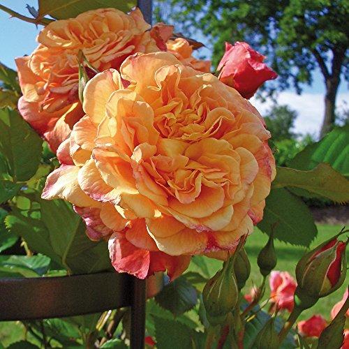 Kletter-Rose Aloha in Rot & Apricot-Rosa Nuancen - Duft Kletterrose Pflanze als Rankhilfe im 5 Liter Container von Garten Schlüter - Pflanzen in Top Qualität