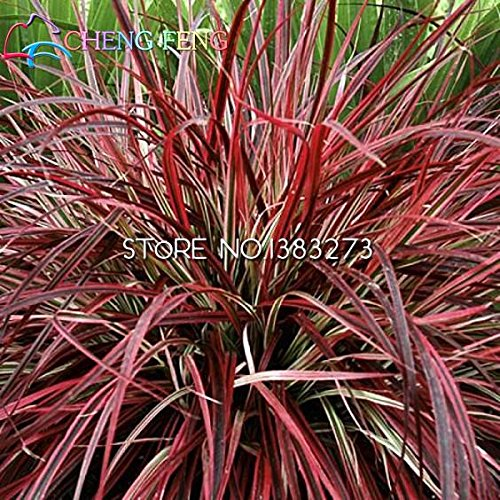 100 Pcs Jolie Semences à gazon Rare Fleur Herbe Jardin Graines Jardin décoration plantation bricolage montre jardin des plantes vivaces en pot *