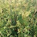 100 Stück Thuja occidentalis - (Abendländischer Lebensbaum)- Wurzelware 40-70 cm von Pflanzen-Discounter24.de bei Du und dein Garten