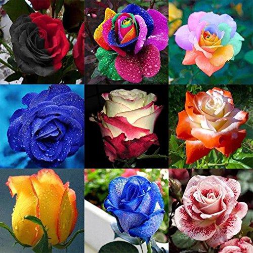 Cioler seme di fiore- 100 pezzi semi di rosa multicolore, bonsai multicolor semi di rose bonsai fiori