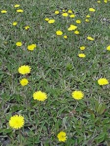 Hieracium pilosella - Mausohrhabichtskraut, 24 Pflanzen im 5/6 cm Topf