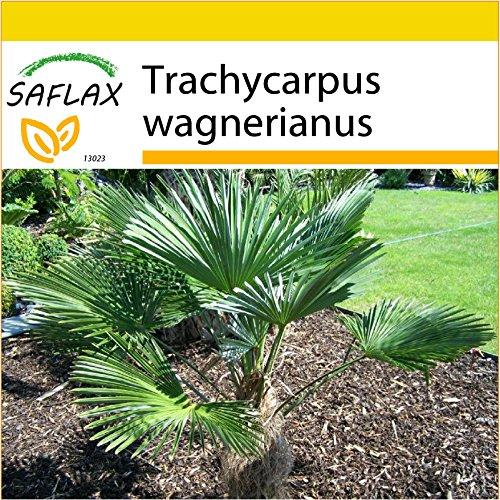 SAFLAX - Kit de culture - Palmier miniature de Chusan - 4 graines - Trachycarpus wagnerianus