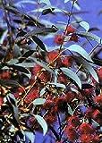 TROPICA - Weisser - Eucalyptus (Eucalyptus leucoxylon rosea) - 200 Samen