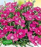 BALDUR-Garten Bodendecker-Nelke'Purple Pillow', 3 Pflanzen winterhart Dianthus