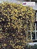 Blumen Senf Winterjasmin 70-80 cm Jasminum nudiflorum schöner Winterblüher