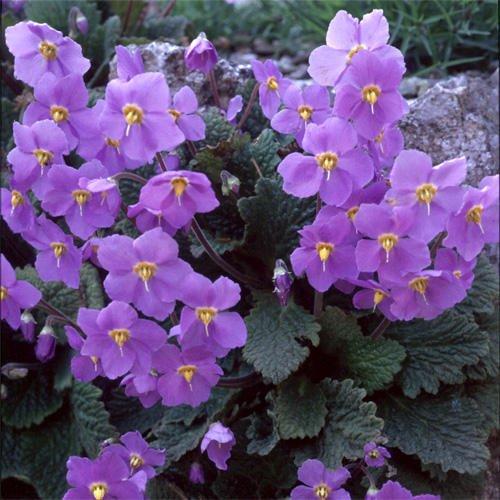 ramonda-myconi-seeds