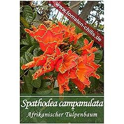 Exoten Samen - 30 Stück - Spathodea campanulata - Afrikanischer Tulpenbaum