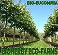 Eucommia - Gummiulme - Tee - Bio Zertifiziert! - HÖchste Reinheit! - 50g - Bioherby® von ❤️ BIOHERBY® bei Du und dein Garten