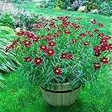 lichtnelke - Mädchenauge (Coreopsis Big Bang) Mercury Rising®