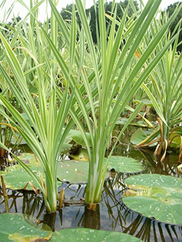 Mühlan - Pflanzenset für kleine Teiche Zwergseerose, Schwimmpflanzen, Wasserpflanzen, Sumpfpflanzen -