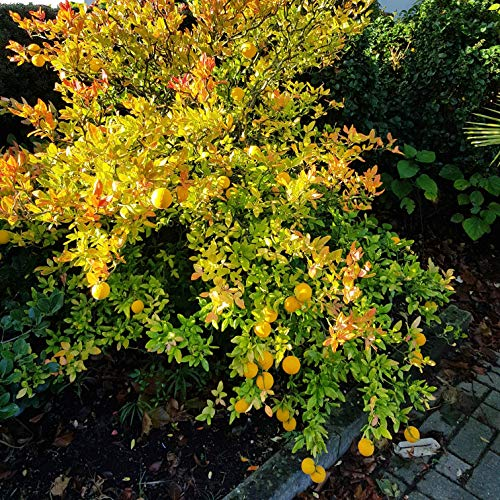 Future Exotics Orangenbäumchen Poncirus winterharte Orange minus 25 Grad